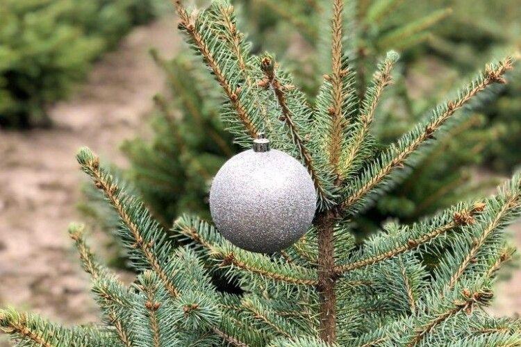 Як на Волині придбати різдвяне деревце (Контакти)