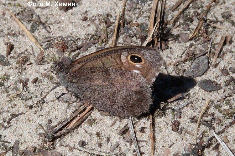 У Національному парку на Волині знайшли рідкісного метелика