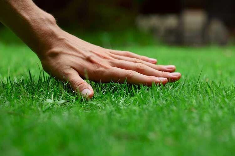 Як правильно підживлювати газон