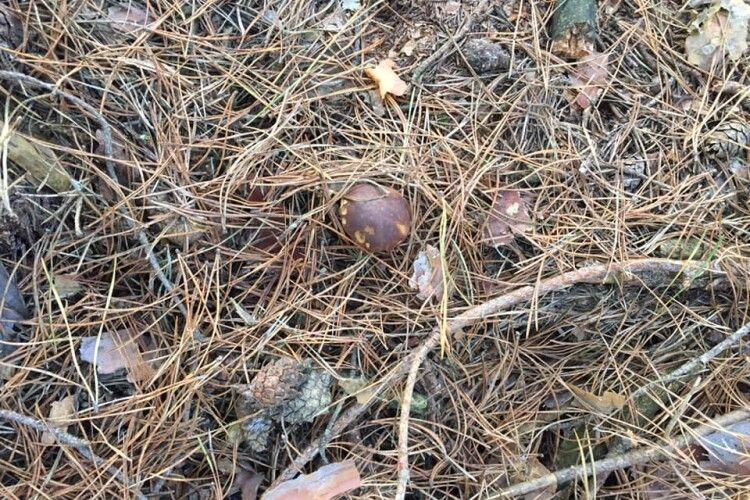 На волинян у лісі продовжують нападати гриби (Фото)