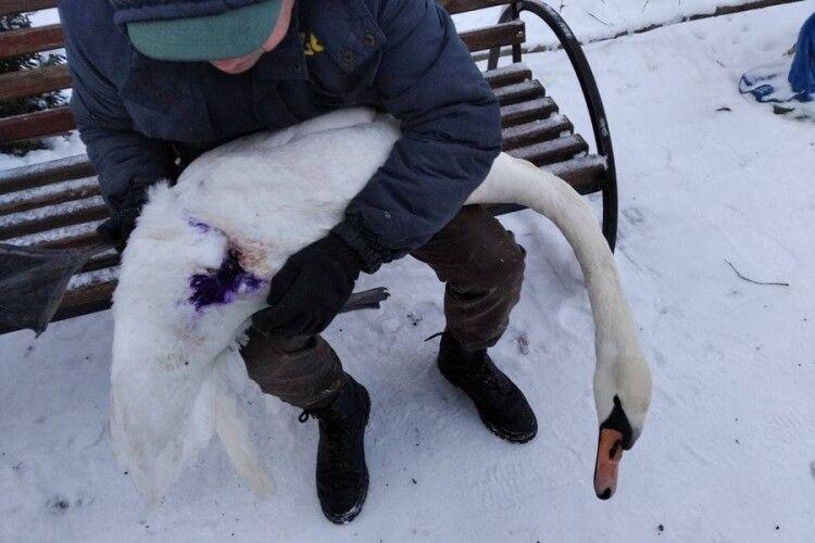 На Старовижівщині підстрелили лебедя