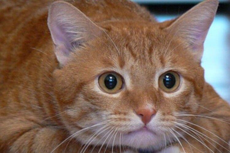 У Луцьку більшає охочих зробити рудого кота гербом міста