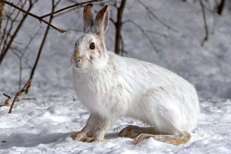 В Україні щезають зайці: мисливці кажуть, що винні фермери – забагато міндобрив вносять у ґрунт