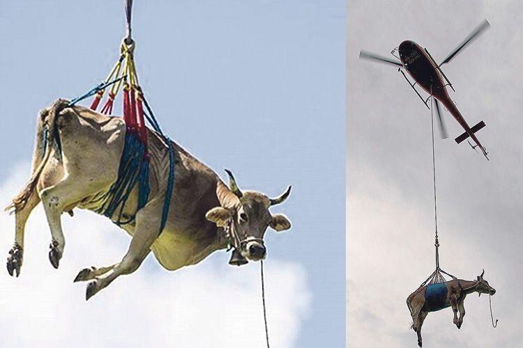 У молочній столиці Волині –  Мильську – корів доведеться доставляти  на пасовисько вертольотом?