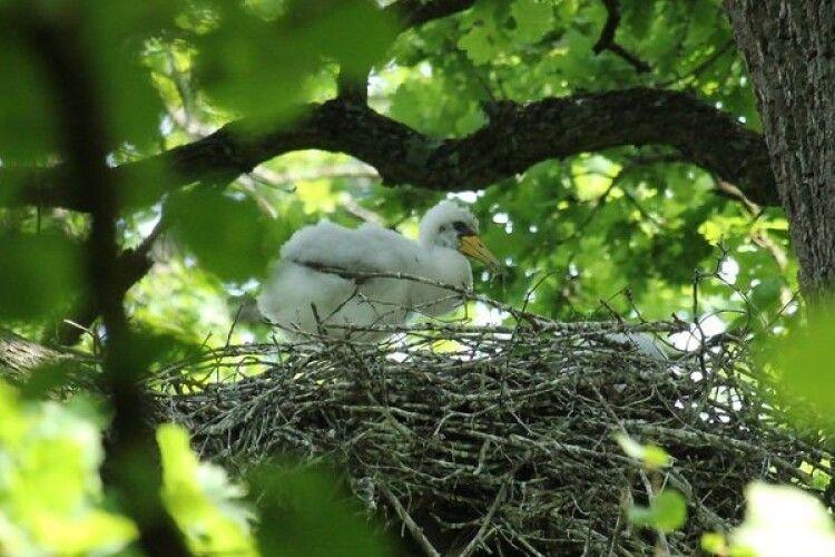 Волинський фотомисливець клацнув пташеня рідкісного і дуже обережного птаха