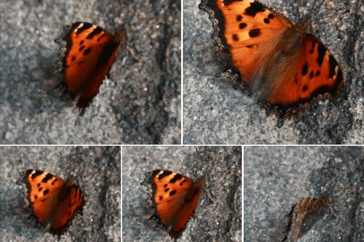 А Київ заполонили… метелики!