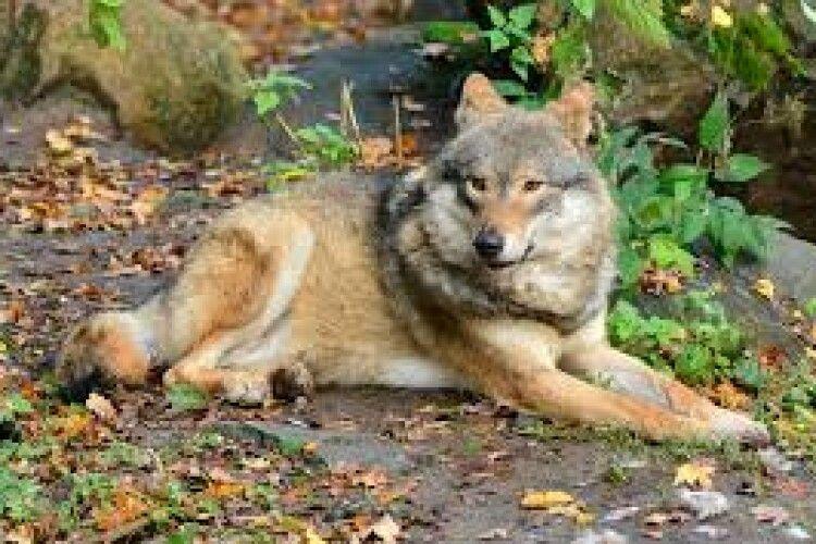 У волинських лісах водиться 35 вовків