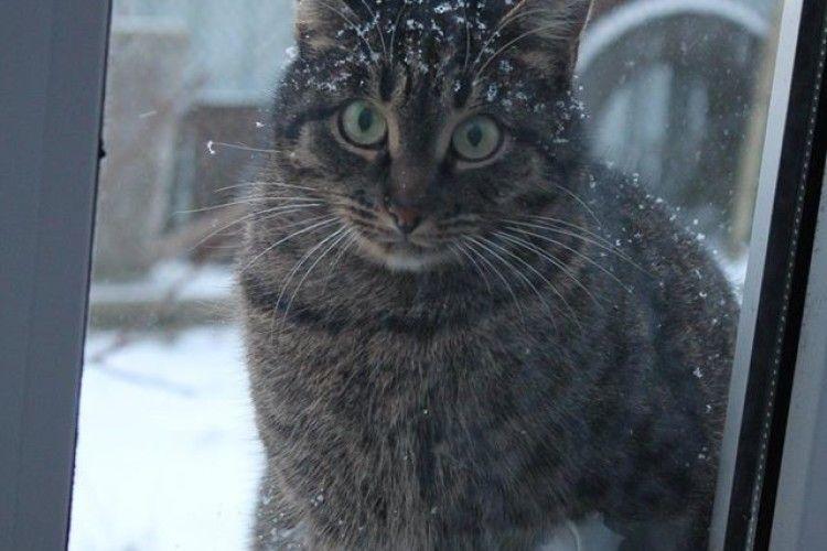 У Луцьку шукають котика Кошика з «діамантовою лапою» (фото)