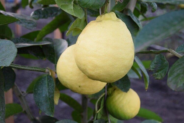 У Маневичах  уже дозрівають «тепличні лимони»