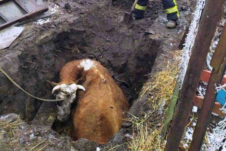 Бійцям ДСНС довелося рятувати з халепи корову (Фото)