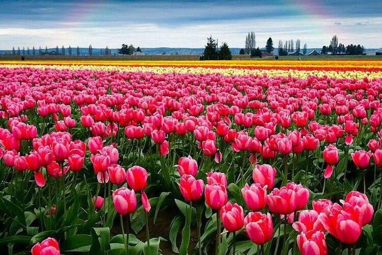 Скільки вартуватиме вхід на тюльпанове поле і як туди добратися