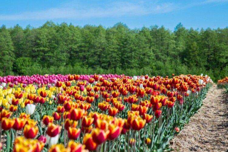 Хто зможе потрапити на фестиваль «Волинська Голландія» безплатно