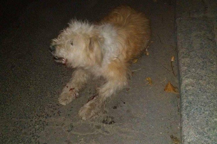 На Рівненській автівка збила рудого кудлатого пса