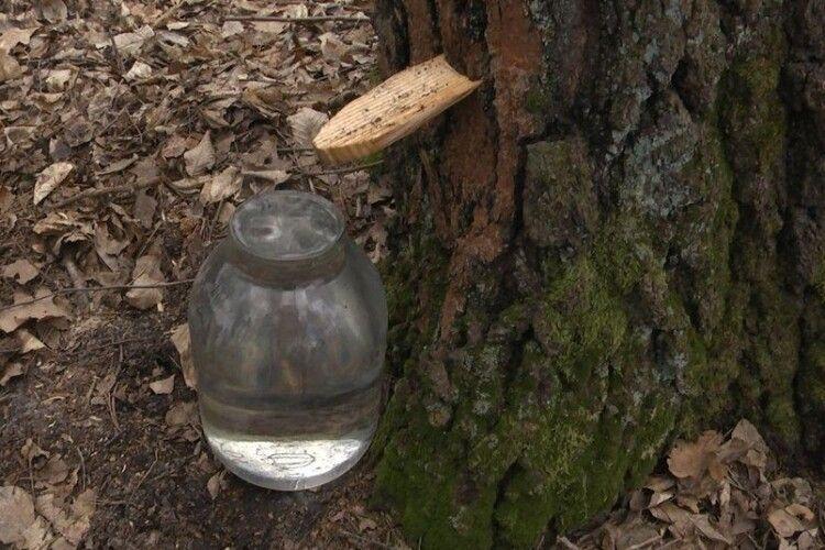 На Волині йде заготівля березового соку (Відео)