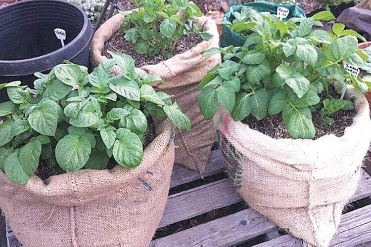 Чудові способи посадки картоплі для городників, уяких мала площа ділянки ікожен квадратний метр навагу