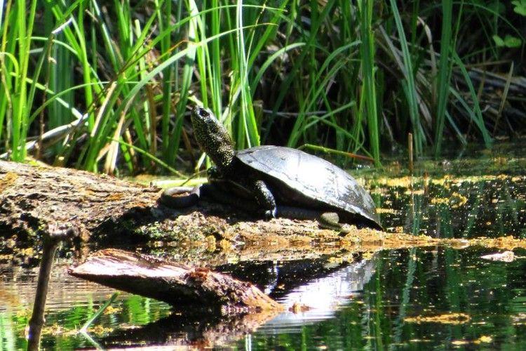 Весна – пора кохання: на Волині черепахи вже повилазили на вужів (ФОТО)
