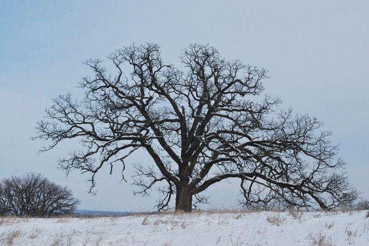 Сарненчанин вкрав з лісу старезного дуба