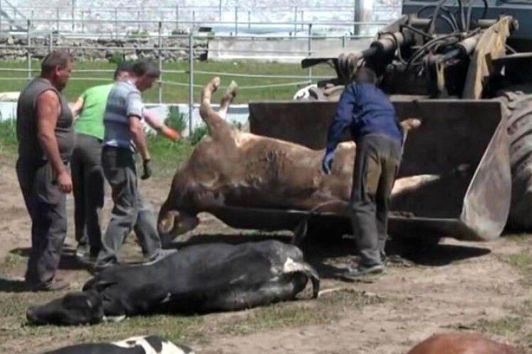 Невідомі отруїли більше сотні корів