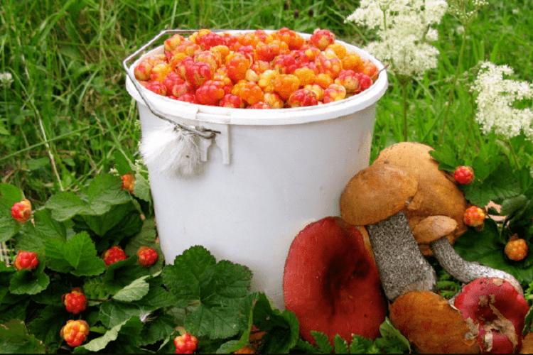 Волинянам нагадують: не забудьте сплатити податок за зібрані ягоди