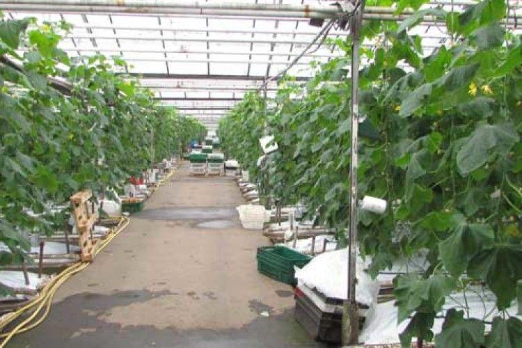 «Наситіть» огірки вуглекислим газом