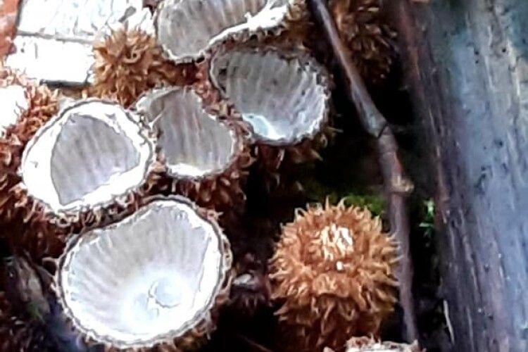 У Цуманській пущі келишки смугасті вже стріляють своїми «яйцями»