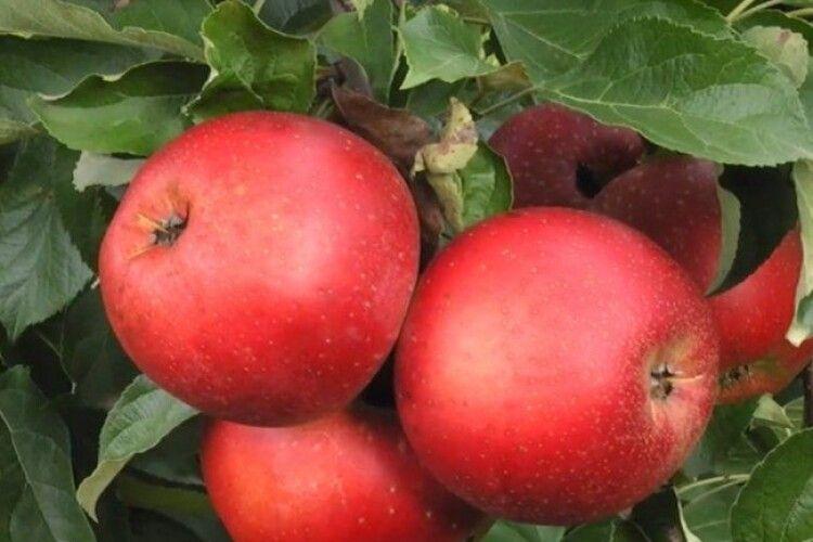 Господарство на Волині на 5 гектарах вирощує 15 сортів яблук (Відео)