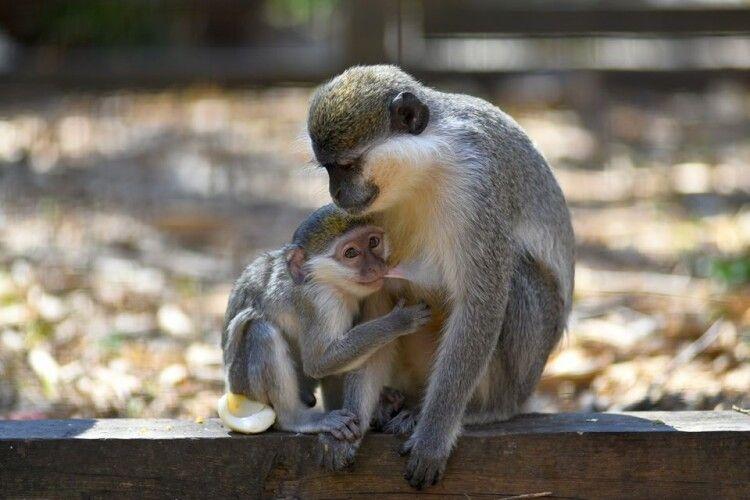 У Луцьку в родині зелених мавп чергове поповнення – шосте мавпеня! (Фото)