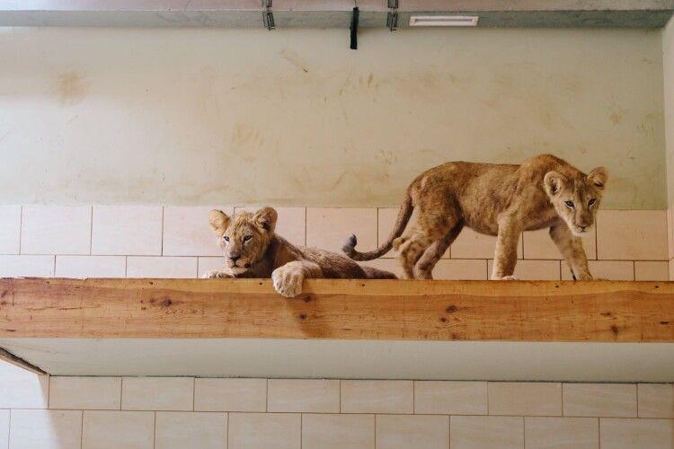 Братик і сестричка: луцькому зоопарку подарували двох левенят (Фото)