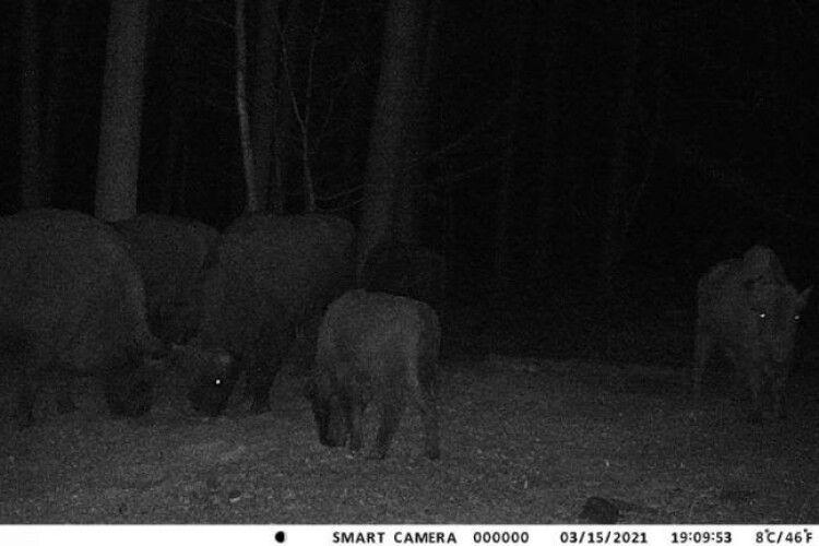 Камери у волинському лісі зафіксували сімейку зубрів (Фото, Відео)