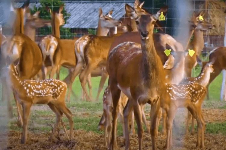 Волинянин створив першу в Україні оленячу ферму