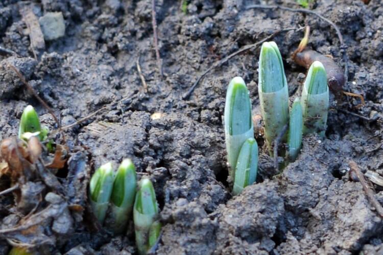 Природна аномалія: у перший день нового року проросли підсніжники