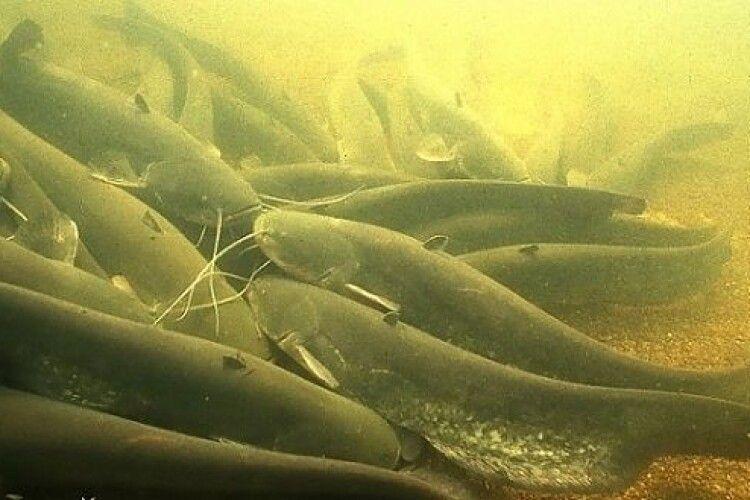 З 1 листопада на Волині встановлюється заборона на вилов риби у зимувальних ямах