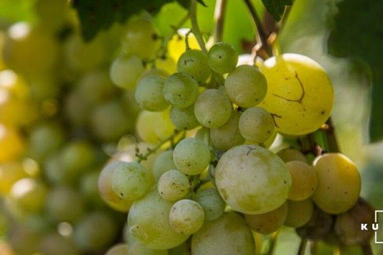 Садівники стверджують, що врожай винограду буде у п'ять-шість разів менший, ніж торік