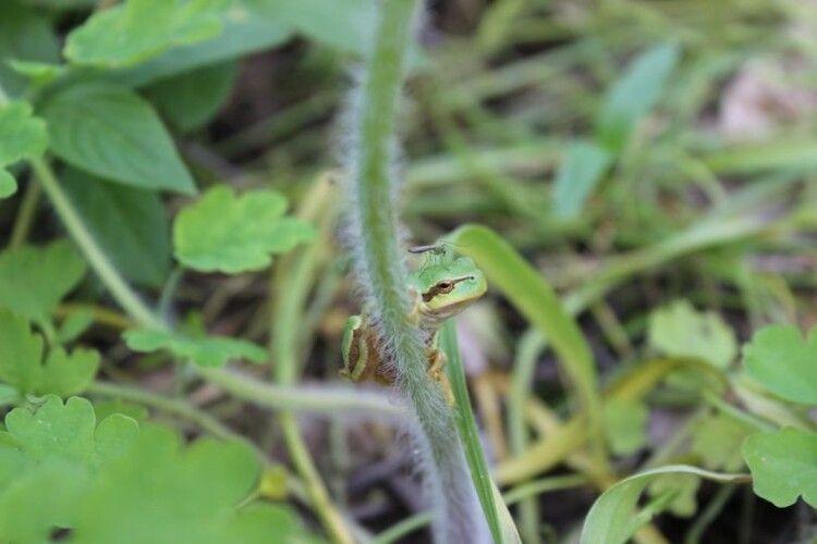 На березі Стоходу бачили рідкісну жабу-кракавку