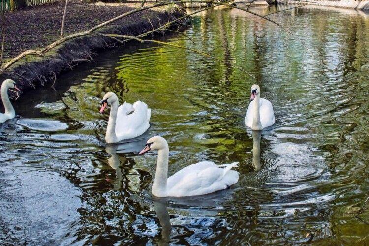 У Тернополі пташиний грип скосив трьох лебедів-шипунів, казарку та мускусну качку