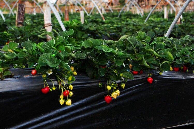 Естонські фермери просять повернути українських заробітчан на збір полуниці