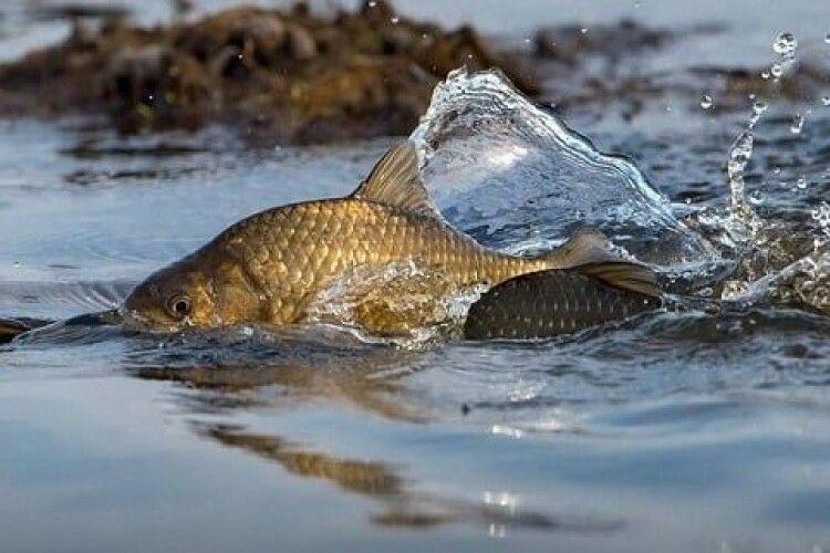 Волинські карасі та щуки просять рибалок починаючи з 20 березня їх не турбувати: стартує нерест