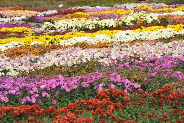 Масово зацвіли хризантеми