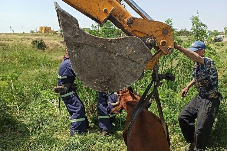 Бійці ДСНС та екскаваторник водоканалу врятували корову, яка гепнулася в колодязь (Фото)