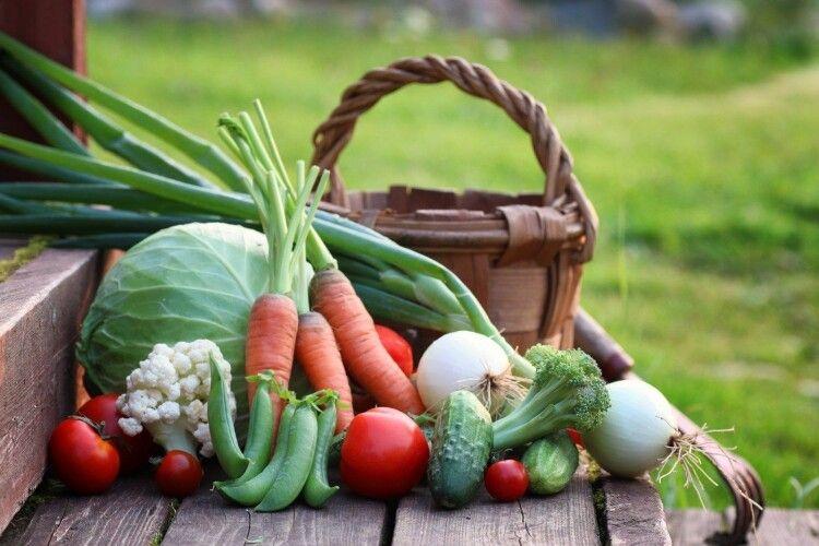 На полях фільтрації Гнідавського цукрового заводу люди садять городи та збирають урожай