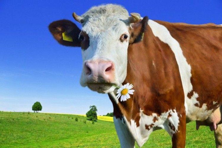 Як підготувати корову доотелення