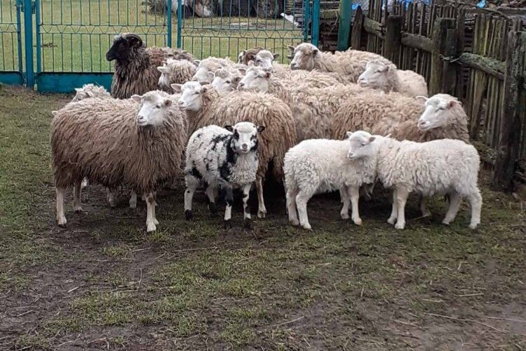 Чому у волинському селі перестали займатися вівчарством, чим свого часу воно славилося