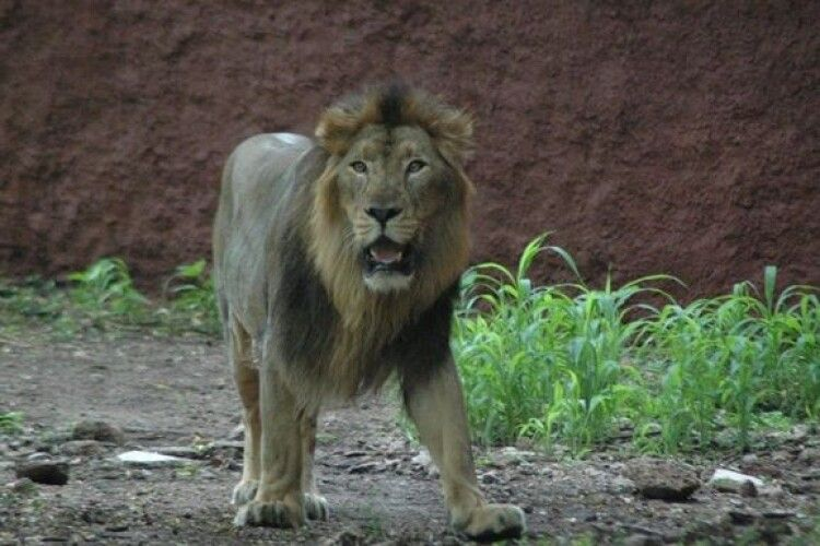 В Індії вісім левів заразилися коронавірусом