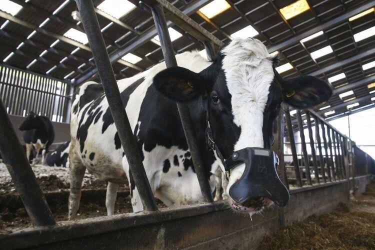 На американських корів надягнуть намордники: аби не відригували метан в атмосферу