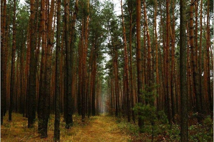 Лісистість Волині хочуть довести до 36%