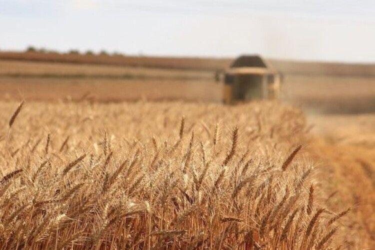 Майже 45 мільйонів тонн: Україна зібрала рекордний урожай ранніх зернових