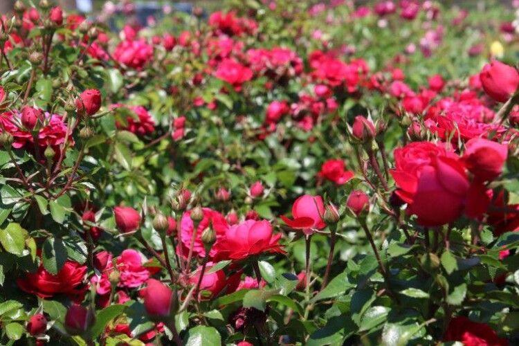 У Малій Глуші на Волині сім'я вирощує троянди з польських саджанців