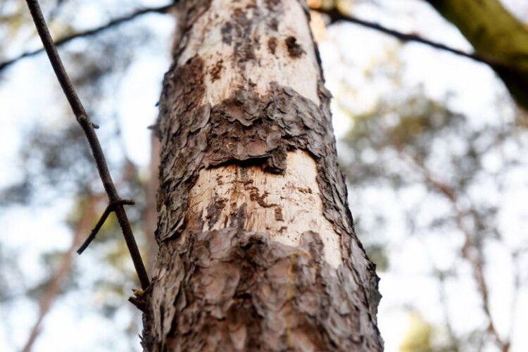 Здорові зрізали – сухі лишили: на Волині виявили незаконну рубку дерев