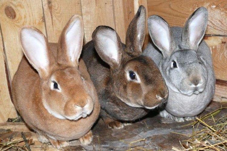 І волинські злодії знають, що кролики – це не тільки цінне хутро…
