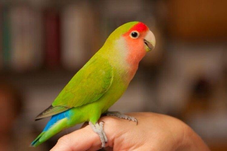 Лучанка шукає улюбленого папугу, який дременув через кватирку (Фото)
